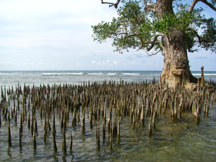 Akar-akar runcing batang bakau
