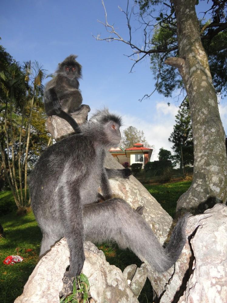 Ada ratusan monyet jinak dan baik serta kelaparan di bukit ini.